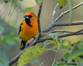 Streak-backed Oriole, Mismaloya Mexico.