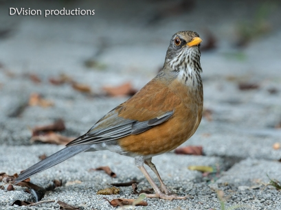 Rufous-backed Robin with a damaged left leg, Huatulco Mexico.
