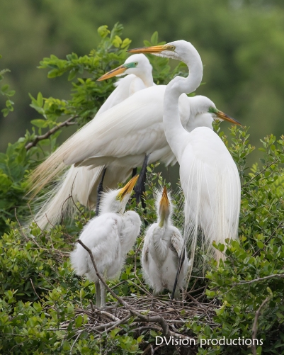 Great Egret family, Texas.