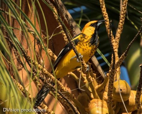 Spot-breasted Oriole, Huatulco Mexico.