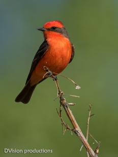 Vermilion Flycatcher, New Mexico.