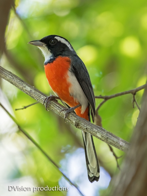 Red-breasted Chat, Huatulco Mexico.