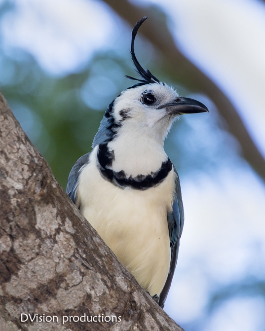 White-throated Magpie Jay, Huatulco Mexico.