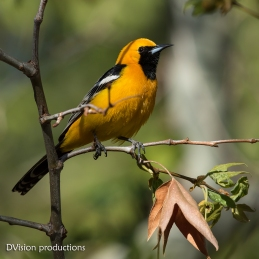Hooded Oriole in early morning light, Arizona.