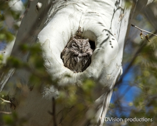 Western Screech Owl snoozing in the sun, Arizona.