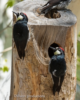 Acorn Woodpeckers, Arizona.