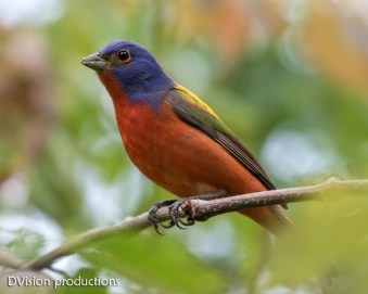 Painted Bunting, Texas.