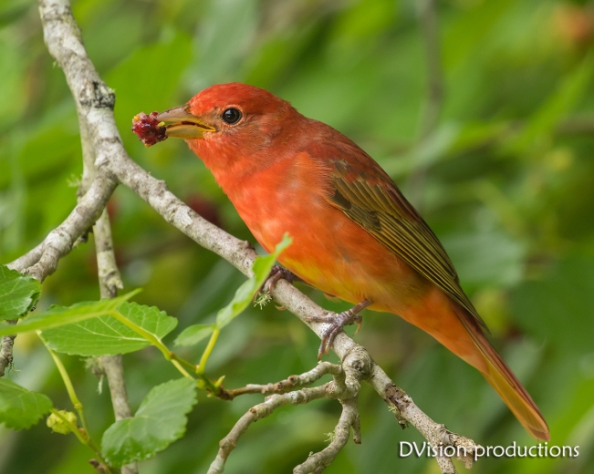 Male Summer Tanager scores a Mulberry, Texas.