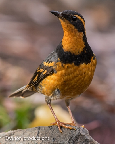 Varied Thrush, Boulder CO. A very rare visitor to the area.