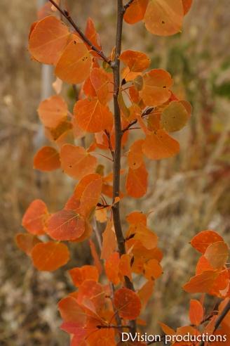 Aspen colors soft light, Kenosha Pass CO.