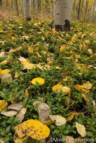 Fall leaves close up, Kenosha Pass CO.