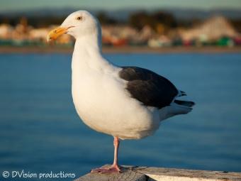 Gull with Santa Cruz boardwalk in background.