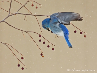 Mountain Bluebird in a late spring storm, Boulder CO.