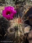 Cactus in bloom, Red Rock Canyons NV.