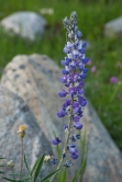 Summer flowers in the Bighorn Mountains WY.