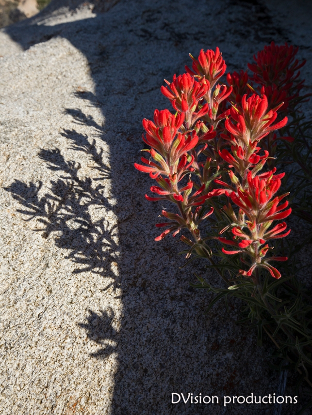 Indian Paintbrush, Joshua Tree NP.