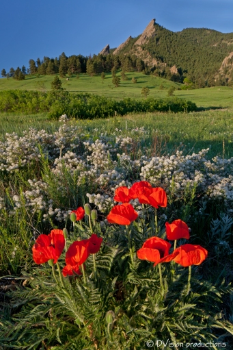 Poppies and the Flatirons, Boulder CO.