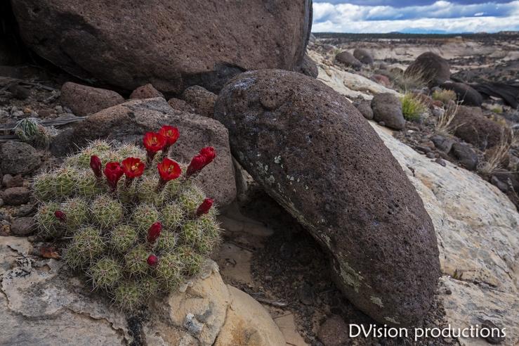 Cactus amid volcanic rock landscape. Escalante Canyons UT.
