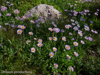 Summer mountain flowers. Indian Peaks CO.