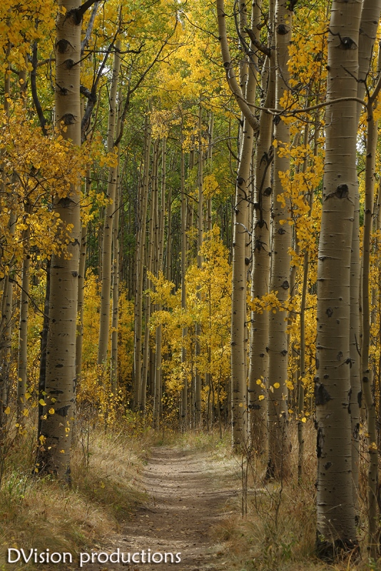 Fall Aspen colors, Kenosha Pass CO.