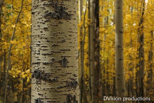 Fall Aspen colors, Kenosha Pass CO.