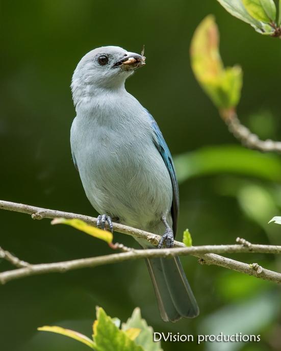Blue-gray Tanager DV7_1100-3