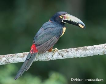 Collared Aracari DV7_2660-3
