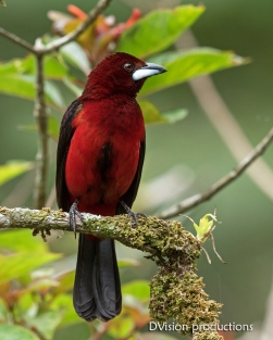 Crimson-backed Tanager DV7_1151-3