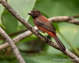 Crimson-backed Tanager female DV7_9675-3