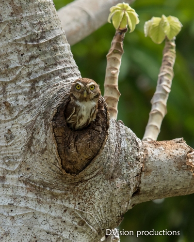 Ferruginous Pygmy Owl DV7_1694-3