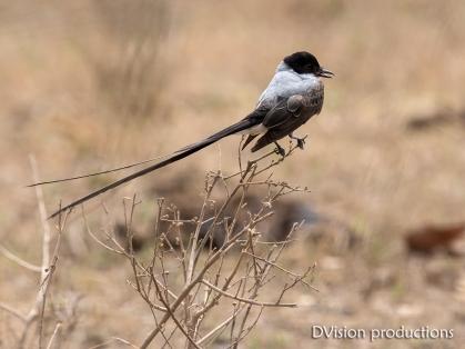 Fork-tailed Flycatcher DV7_1741-3