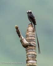 Long-tailed Tyrant DV7_2277-3