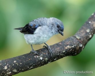 Plain-colored Tanager DV7_2673-3