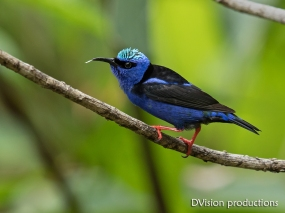 Red-legged Honeycreeper DV7_9875-3
