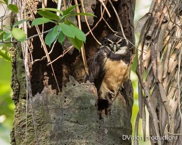 Spectacled Owl DV7_0605-3