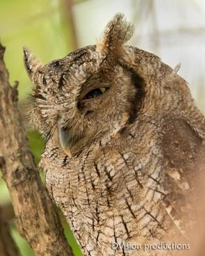 Tropical Screech Owl DV7_1517-3