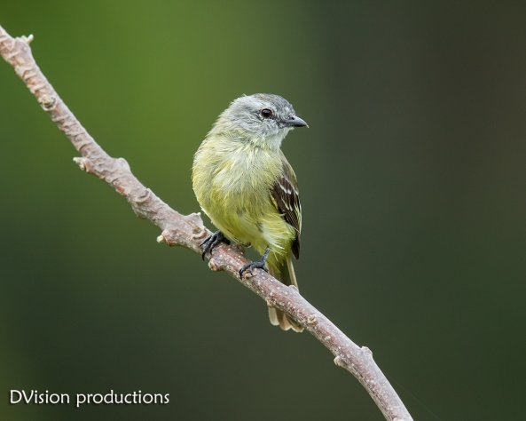 Yellow-crownded Tyrannulet DV7_0336-3